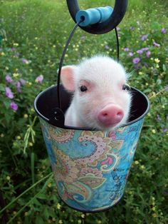 Pig in a bucket. Possibly the cutest thing, ever.