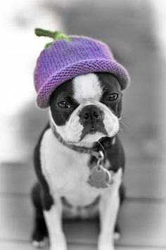 Boston Terrier with hat..seems none too pleased...little cutie though.