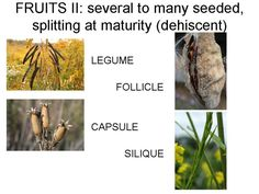 Many dry fruits, when mature, split open and release their (usually numerous) seeds.  They are categorized mainly on the basis of the number of carpels, and how they split open.