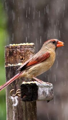 Female Cardinal ~ seen one in my life so far