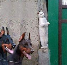 funny cat, #funny cat, funny dobermans, #funnydobermans