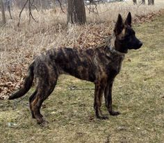 dutch german shepherd