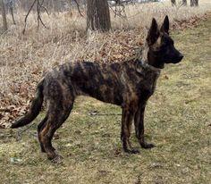 Dutch Shepherd.