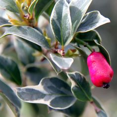 NEW!  Syzygium australe Variegated psyllid resistant Lilly Pilly. Fluffy white flowers and edible red berries in Summer. Ideal for garden beds, screening, hedges and container planting. May be kept to 1m if pruned regularly. Supplied in a 50mm pot. Not for WA,TAS, SA & NT due to quarantine restrictions.  Orders containing this item …