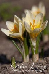 Crocus chrysanthus 'Cream Beauty' Garden Living, Outside Living, Cream, Plants, Beauty, Creme Caramel, Plant, Planting, Lotion
