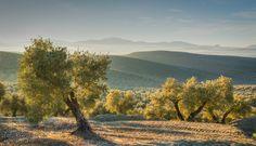 Olivar de la campiña de JAÉN. Estos árboles darán su fruto, la aceituna, que será transformada en AOVE: generador de SALUD.