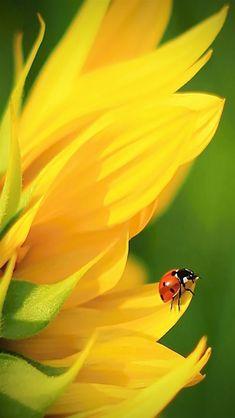 Sunflower with ladybug Amazing Flowers, Yellow Flowers, Beautiful Flowers, Sunflower Photography, Nature Photography, Photography Flowers, Colour Photography, Photo Coccinelle, Foto Macro
