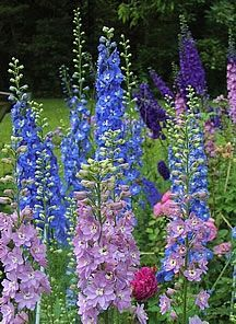 Delphinium, Plants perform best in cool summer climates with little wind and adequate moisture. They may rebloom if flower stalks are cut back after flowers fade.  Light:Sun,Part SunZones:3-7Plant Type:PerennialPlant Height:1-7 feet tallPlant Width:1-3 feet wideLandscape Uses:Containers,Beds & BordersSpecial Features:Flowers,Cut Flowers,Deer Resistant