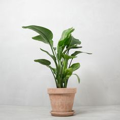strelitzia-nicolai-mørk-lerkrukke-greenify-paradisfugl