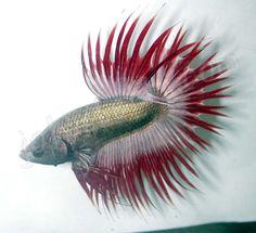 Betta fish kinda looks like ramses