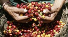 PUNO . RECONOCIMIENTO  DE LA ASOCIACIÓN AMERICANA  DE CAFÉS ESPECIALES  ( SCAA ) Café de Sandia se impuso a 139 muestras del mundo   De lo...