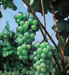 Golden Muscat grapes. Produces huge clusters of golden fruit, some as heavy as 7lb.