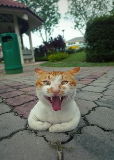 Ginger cat yawning. #cats
