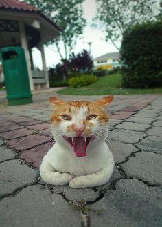 Ginger cat yawning.