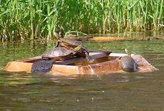 Capture of painted turtles - Wikipedia Reptile Zoo, Reptile Habitat, Reptiles, Turtle Traps, Cage, Snare Trap, Wood Turtle, Turtle Painting, Survival Prepping