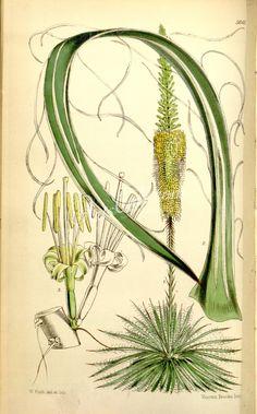 schidigera, Splintered-leaved American Aloe - high resolution image from old book. Vintage Artwork, Botanical Illustration, Aloe, Leaves, American, Flowers, Plants, Cape Town, Image