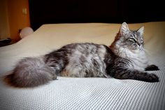 Yamillet Phantom Cats of Aurora Glow Siberian Cat, Aurora, Glow, Cats, Animals, Gatos, Animales, Animaux, Northern Lights