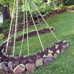 Beanpole teepee made with Nasturtium and alyssum seedlings