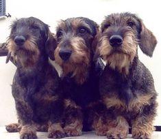 2018 Teckel Hond: Hondenliefhebbers opgelet: Engeland krijgt een teckelcafé