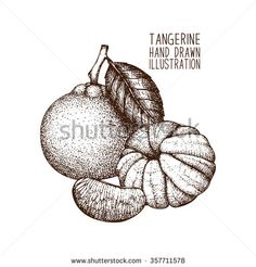 Ink hand drawn tangerine isolated on white background. Vector illustration of highly detailed citrus fruits