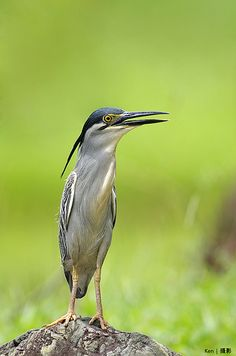Little Heron #5 #Heron #BirdsofPrey #BirdofPrey #Bird of Prey