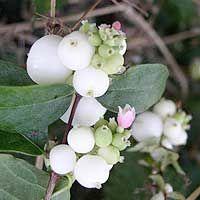 Symphoricarpus albus (Snowberry)