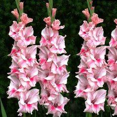 Gladiolus Tampico