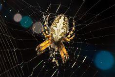 ragno controluce