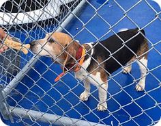 Beagle Mix Dog for adoption in New Kent, Virginia - Woodsedge Rd area Beagle