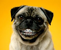The pug from the Pedigree Dentastix 'Doggy Dentures' adverts ; Braces Humor, Dental Humor, Dog With Braces, Your Smile, Make You Smile, Happy Smile, Orthodontic Humor, Pug Gifs, Motivational Quotes