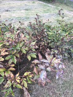 What is going on with this peony? Is it fungus or sunburn? How should I treat it? #gardening #garden #DIY #home #flowers #roses #nature #landscaping #horticulture