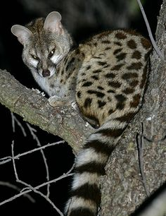The Cape genet (Genetta tigrina), also known as the blotched genet, large-spotted genet or muskeljaatkat in Afrikaans, is a carnivore mammal, related to the African linsang and to the civets. Description from pixgood.com. I searched for this on bing.com/images