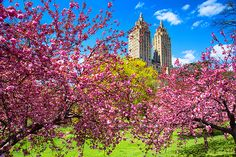 Spring in full swing in Central Park, NYC, April 2013 Spring Photography, Amazing Photography, Cental Park, Budapest City, Central Park Manhattan, Voyage New York, Beautiful Park, City That Never Sleeps, Spring Is Here