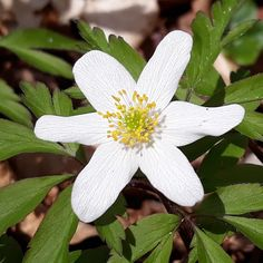 Beautiful woodland flower Wood Anemone, Woodland Flowers, Planting Flowers, Beautiful Flowers, Plants, Garden, Garten, Pretty Flowers, Planters