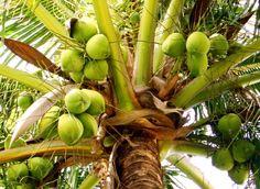 Green variety Coconut fruit tree, Caticlan farm, Aklan Province, PH.