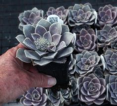 Sunshine Succulents: mail order division of Wolf Mountain Farm, MO. Great tutorials on making hypertufa