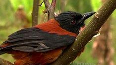 El pitohuí, el pájaro venenoso