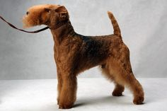 Spot the Lakeland Terrier. Spot, registered as Larkspur Acadia Save Me A Spot, is owned by Anthony Barker, Susan Fraser and Maria Sacco. (Fred R. Conrad, a New York Times photographer, set up a studio at the 2013 Westminster Kennel Club dog show and invited Best of Breed winners to pose.)