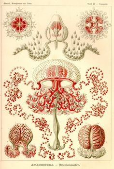Lithograph by Ernst Haeckel and Adolf Giltsch Plate 46 from Kunstformen der Natur. This is one of the 100 pop science biology illustrations that were published from 1899 – 1904 in Leipzig by Ernst Haeckel through Verlag des Bibliographischen Instituts. Science Illustration, Illustration Plate, Illustration Botanique, Poster Digital, A4 Poster, Poster Prints, Art Prints, Sea Life Art, Sea Art