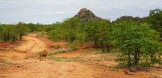 Lion walking on the 4 x 4 Shikumbu track near Phalaborwa Portrait Images, Pet Portraits, Kruger National Park, National Parks, Lion Walking, Elephant Walk, Walk Past, Tree Forest, Animals Images