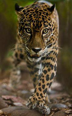 Jaguar, Guatemala #wildlife #Jaguar