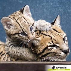 Zoo Berlin welcomed an Ocelot kitten on July 16, and keepers have noticed some stirrings now that the kitten is about nine weeks old. Even though mom does a good job keeping her baby out of sight, visitors have an increasing chance of catching a glimpse of the beautifully-patterned mother and baby. See and read more at ZooBorns: http://www.zooborns.com/zooborns/2013/09/ocelot-berlin-zoo.html