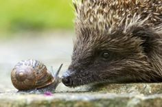 Face to face with a hedgehog