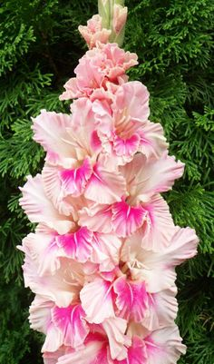 Gladiolus 'Rosy Outlook' (Gladiolus x hortulanus)