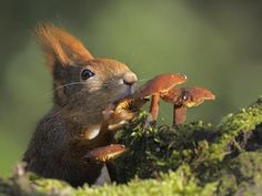 Fungi snack for long eared squirrel.