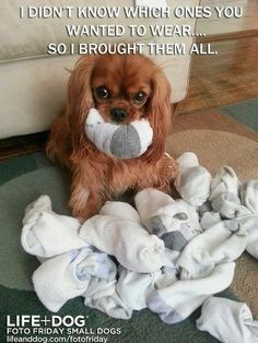 Cavalier King Charles Spaniel – Graceful and Affectionate Perro Cocker Spaniel, Cavalier King Spaniel, Spaniel Puppies, King Charles Puppy, Cavalier King Charles Dog, King Charles Spaniel, Cute Funny Animals, Cute Baby Animals, Cute Puppies