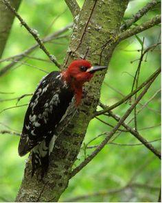 RED HEADED WOODPECKER IN TREE, via Flickr.