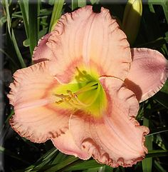 Elegant Candy Day Lily $7