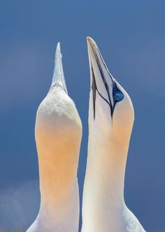 Northern Gannets by Pavel Blažek. °