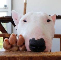Resultado de imagem para love bull terrier